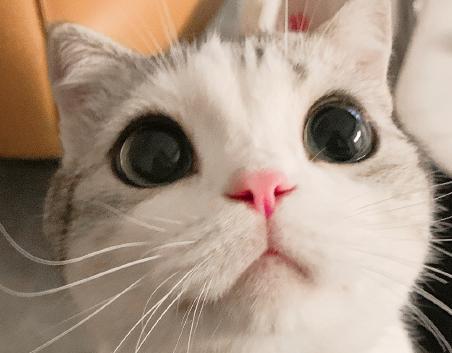 香香软软的小泡芙是什么猫 表情包可谓是应有尽有