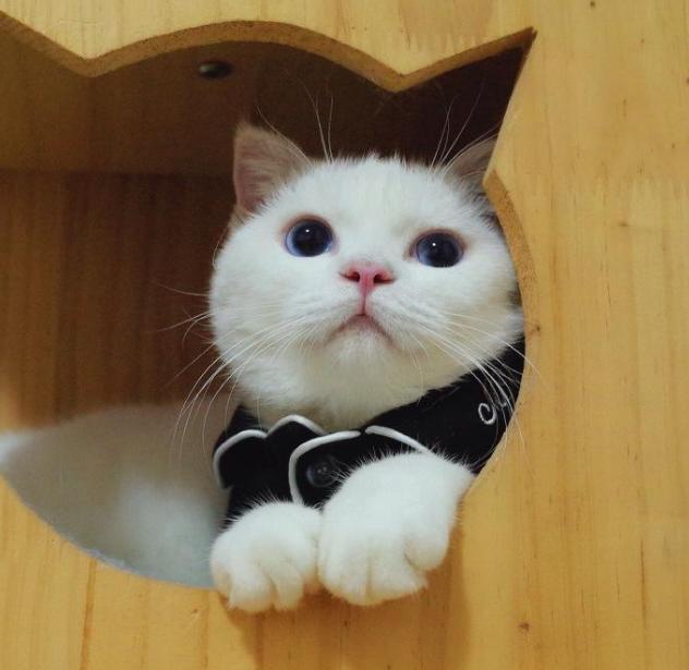 城乡结合部狗蛋表情包 李白是一只英格兰折耳猫超可爱