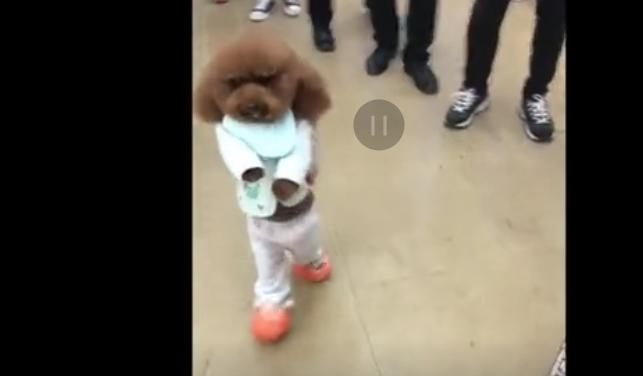 网红豆豆小狗是什么品种的狗 豆豆为什么会站着走路